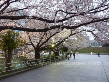 The famous cherry blossom